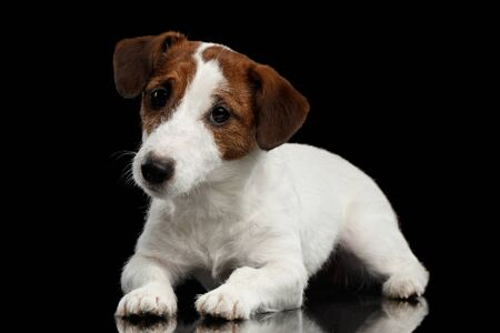 jack russell terrier puppy: Cute Jack Russell Terrier Puppy Lies on Mirror and Looking in Camera isolated on Black background Stock Photo