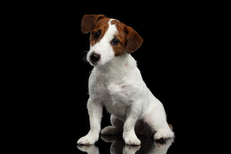 jack russell terrier puppy: Cute Jack Russell Terrier Puppy Sits on Mirror and Looking in Camera isolated on Black background