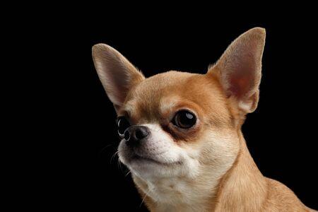黒い背景に分離した外を見て犬チワワのポートレート、クローズ アップ 写真素材