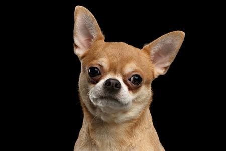 チワワ犬のポートレート、クローズ アップ カメラで見る黒い背景に分離 写真素材