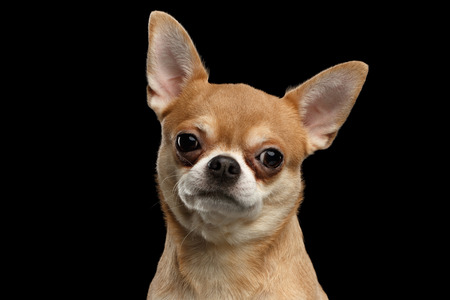 Closeup Portrait of Chihuahua dog Looking in Camera isolated on Black background
