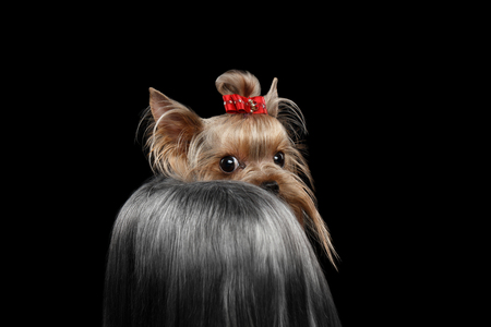 pity: Closeup Yorkshire Terrier Dog with long groomed Hair Shy Looking back Isolated on black background Stock Photo