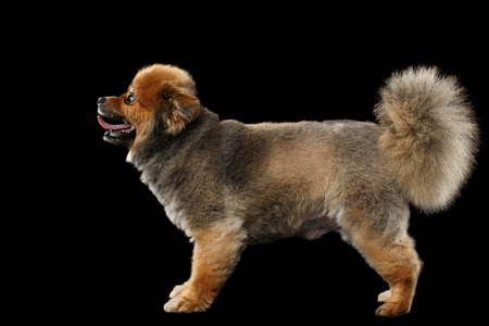 groomed: Groomed Red Pomeranian Spitz Puppy Standing isolated on Black Background in Profile view