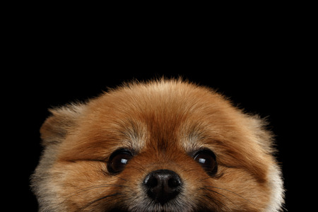 peek: Close up Face of peek Cute Red Pomeranian Spitz Puppy  isolated on Black Background
