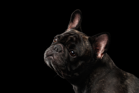 curiously: Close-up Portrait of French Bulldog Dog Curiously Looking up Isolated on black background Stock Photo