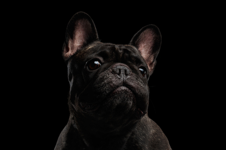 curiously: Close-up Portrait of Funny French Bulldog Dog Curiously Looking, Front view,  Isolated on black background