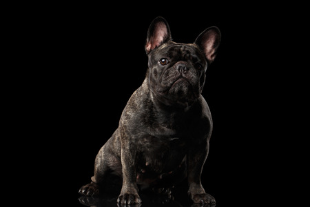 curiously: Portrait of French Bulldog Dog Sitting and Curiously Looking in Camera, Front view,  Isolated on black background