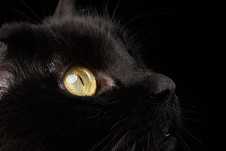 Closeup Yellow Eyes of Black Cat Snout on Black Background Stock Photo