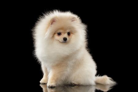 Fluffy Leuke Witte Pomeranian Spitz hond zit op spiegel geïsoleerd op een zwarte achtergrond in vooraanzicht