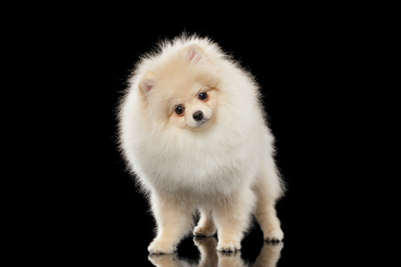 Fluffy Cute White Pomeranian Spitz Dog Standing and Curiously Looking isolated on Black Background in Front view