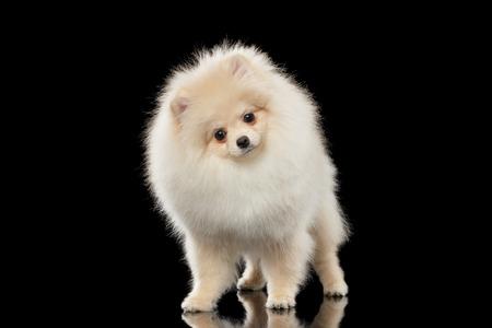 Fluffy Leuke Witte Pomeranian Spitz hond permanent en vreemd genoeg op zoek geïsoleerd op een zwarte achtergrond in vooraanzicht