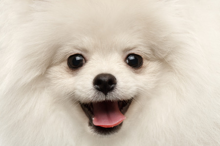 Closeup Furry Happiness White Pomeranian Spitz Dog Curious Smiling in Camera isolated in Front view Reklamní fotografie