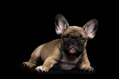 squint: Sly French Bulldog Puppy Lying and squint Looking, Front view,  Isolated on black background