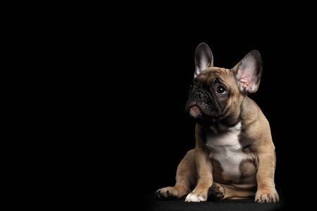 재미 있은 프랑스 불독 강아지 귀여운 앉아서 동정 찾고, 전면보기, 검은 배경에 격리 됨 스톡 콘텐츠
