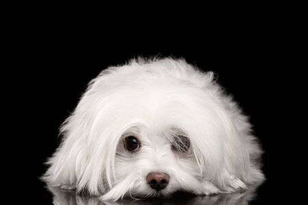 Closeup White Maltese Dog Lying and with sad eyes Looking in Camera isolated on Black background Reklamní fotografie - 57154766