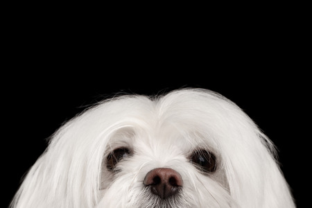 Close-up Bemoeizieke Witte Maltese Hond die in camera geïsoleerd op Zwarte achtergrond kijkt