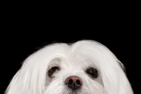 Nahaufnahme Neugierige weiße Malteser Hund in die Kamera auf schwarzem Hintergrund isoliert Standard-Bild