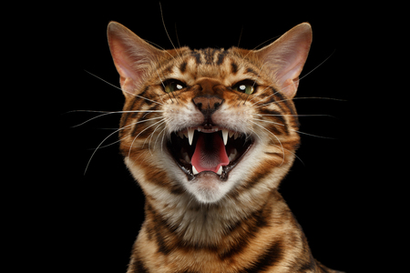 Closeup Portrait of Hissing Bengal Male Cat on Black Isolated Background Looking in Camera, Front view