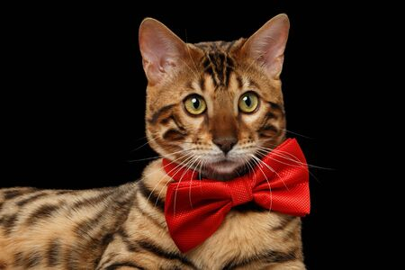 curiously: Closeup Bengal Male Cat with bow tie Curiously Looking in Camera on Black Isolated Background