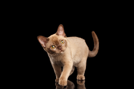 curiously: Playful Burmese kitten with beige fur on Isolated black background Walking and Curiously Looking up with interest