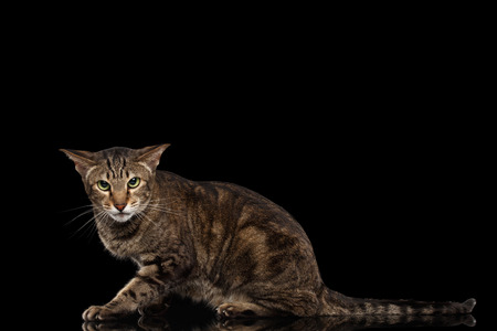 hiss: Angry Oriental Cat Lying and Looking in Camera Isolated on Black Background, Side view