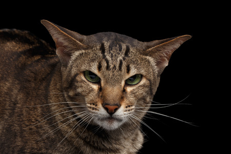 Closeup portrait of Angry Oriental Cat Looking in Camera Isolated on Black Background