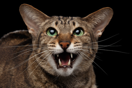 hiss: Closeup portrait of Funny Oriental Cat Meowing with opened mouth in Camera Isolated on Black Background Stock Photo