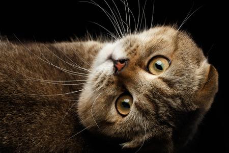 fold back: Scottish fold Cat Lying on Back and Looking in Camera Isolated on Black Background Stock Photo
