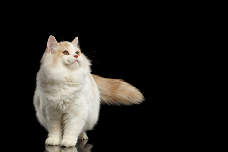 furry tail: Playful White Scottish Straight Bicolor Cat with Furry Tail Standing and Looking up Isolated on Black Background