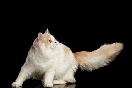 furry tail: Playful White Scottish Highland Straight Bicolor Cat with Furry Tail Isolated on Black Background
