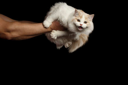 meowing: Human hands holding Meowing White Scottish Highland Straight Bicolor Cat Isolated on Black Background Stock Photo
