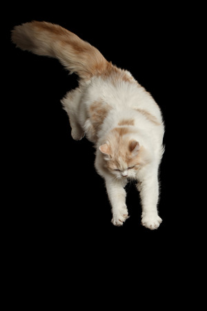 furry tail: Playful White Scottish Highland Straight Bicolor Cat with Furry Tail Jumping from side Isolated on Black Background Stock Photo