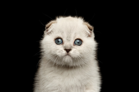 laying forward: Closeup portrait of Cute White Scottish Fold Kitten with blue eyes Looking in Camera, front view Isolated on Black Background