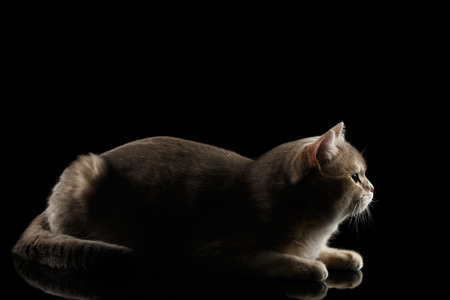 Side view of Adorable British Cat Lying and Looking forward isolated on Black Background, Low key Stock Photo