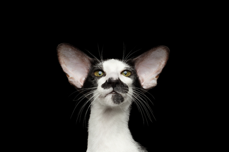 talk big: Closeup Portrait of Green Eyed Oriental Kitten With Big Ears Looking at camera on Black Isolated Background Stock Photo
