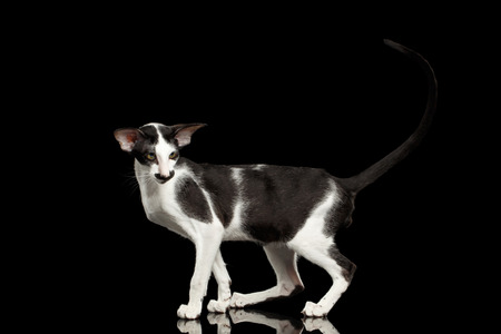 oriental white cat: Black and White Oriental Cat With Big Ears Standing on Black Isolated Background