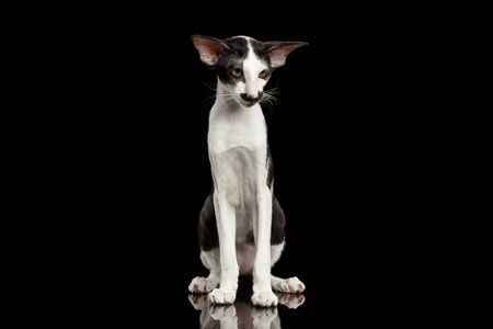 big cat: Green Eyed White Oriental Cat With Big Ears Sitting on Black Isolated Background