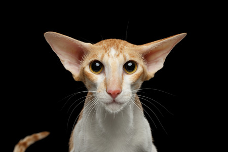 oriental white cat: Closeup Portrait of White and Red Oriental Cat With Big Ears frightened Looking in camera, Black Isolated Background Stock Photo