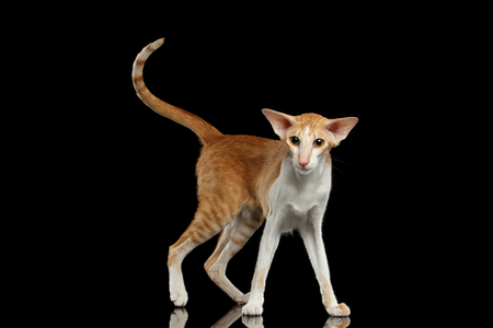 oriental white cat: Playful White and Red Oriental Cat With Extremal Big Ears Standing and Looking in Camera, Black Isolated Background