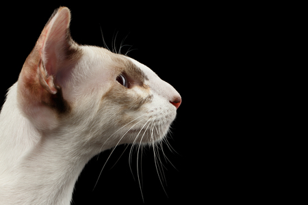 oriental white cat: Closeup White Oriental Cat With Big Ears in Profile view, Black Isolated Background Stock Photo