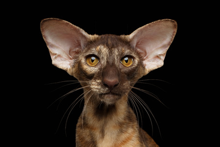 talk big: Closeup Portrait of Brown big-eared Oriental Cat Looking in Camera, Black Isolated Background