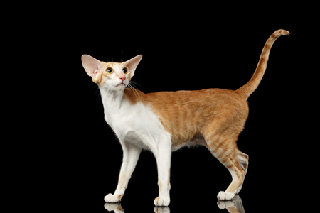 oriental white cat: Playful White and Red Oriental Cat With Extremal Big Ears Standing and Looking up, Black Isolated Background Stock Photo