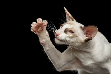 oriental white cat: Closeup Portrait of Funny White Oriental Cat Raising paw, Black Isolated Background