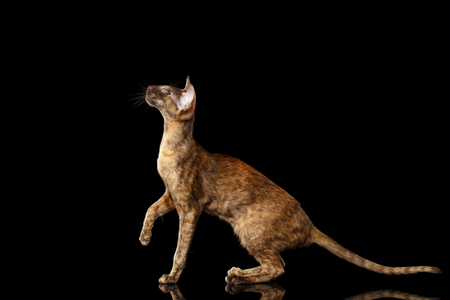 crouched: Brown Oriental Cat With Extremal Big Ears crouched and Looking up, Black Isolated Background Stock Photo