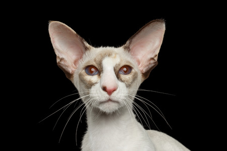 big cat: Closeup Portrait of White Oriental Cat With Big Ears and red eyes Looking in Camera, Black Isolated Background Stock Photo