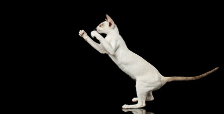 oriental white cat: Playful White Oriental Cat Standing on rear legs and Boxing of paws, Black Isolated Background