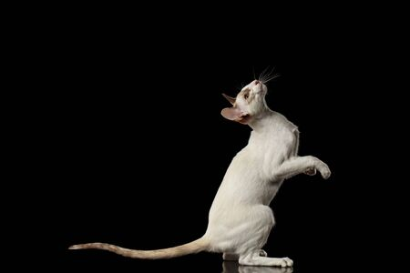 oriental white cat: Playful White Oriental Cat Standing on rear legs and Raised up head, Black Isolated Background Stock Photo