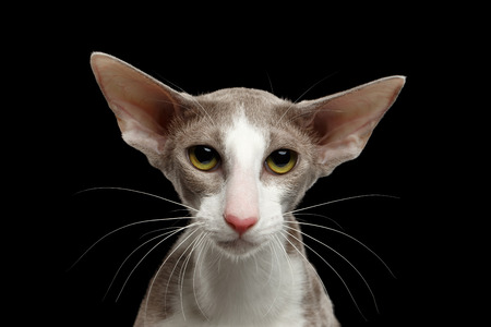 talk big: Closeup Portrait of White Oriental Cat With Big Ears Looking in Camera, Black Isolated Background Stock Photo