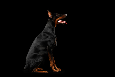 obedient: Obedient Doberman Pinscher Dog Sitting and Looking up, isolated Black background, Side view