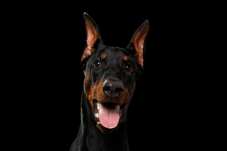 doberman pinscher: Closeup portrait of Doberman Pinscher Dog Looking in Camera on isolated Black background Stock Photo